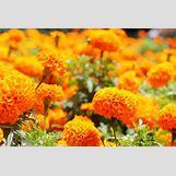 Marigold Flower Wallpaper | 3000 x 2000 jpeg 3263kB