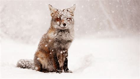 Animals, Lg,cool, Free, Winter Nature, Foxes, Samsung