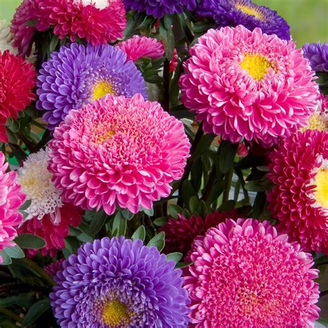 China Aster Princess Mix Seeds Callistephus Chinensis