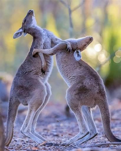 Fight Kangaroos Boxing Roo Each Kangaroo Bro