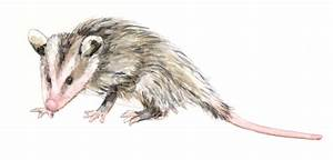 Opossum Drawing Gallery