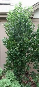 Baum Vorgarten Immergrün : s ulenfarn baum fine line garten pinterest pflanzen ~ Michelbontemps.com Haus und Dekorationen