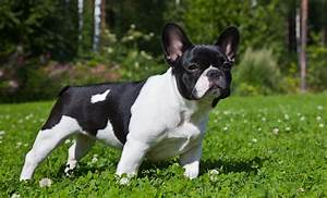 French Bulldog - My Doggy Rocks