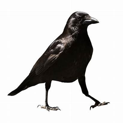 Raven Crow Gagak Pixabay Burung Bird Common