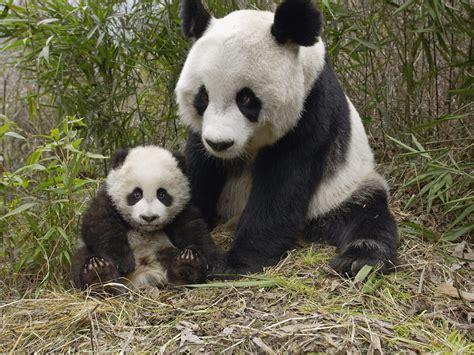 large cat tree and baby panda animals ii pandas