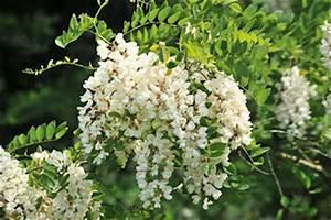 Baum Mit Weißen Blüten : truz neophyten ~ Michelbontemps.com Haus und Dekorationen