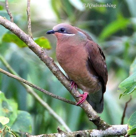 oriental bird club image database white eared brown dove