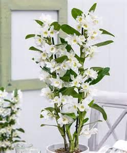 plantation style achetez maintenant une plante d intérieur orchidée 39 apollon 39 acheter bakker