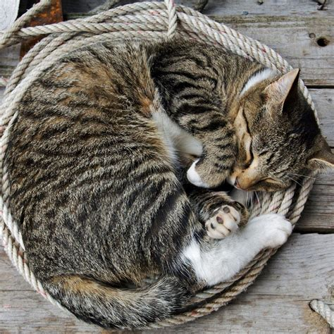 Curled Up Cat  I Love You Kitty  Pinterest Ispirazione