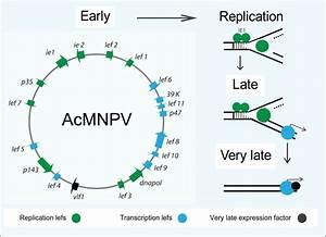 Baculovirus Gene Expression