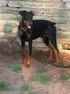 Big Boi....Warlock Doberman | Doggone..... | Pinterest