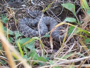 Baby Eastern Massasauga Rattlesnake