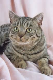 shorthair cat cat pictures gallery