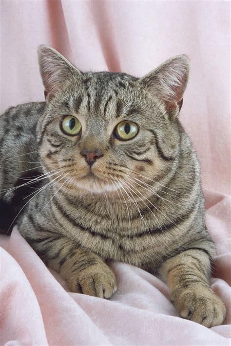 Shorthair Cat by Hair Cat Breeds Cats Types