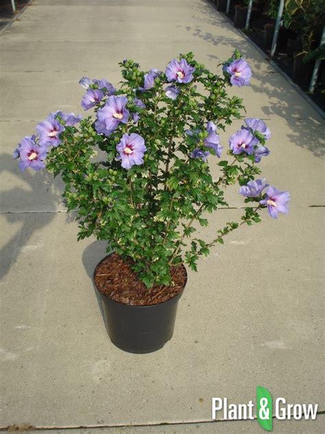 hibiscus syriacus oiseau bleu kopen plant grow