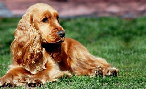 cani da appartamento taglia media piccola cani taglia media pi 249 tranquilli
