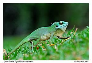 TrekNature | Green Crested Lizard Photo
