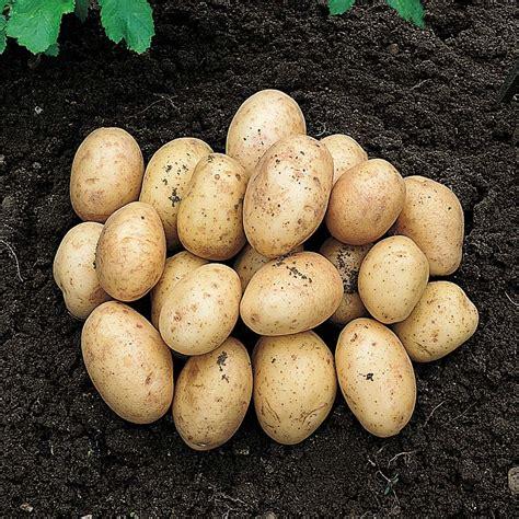 what are seed potatoes seed potato pick mix tool