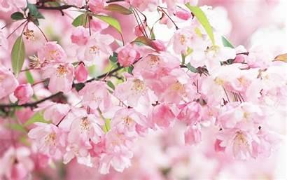 Cherry Blossoms Blossom Background Backgrounds Desktop Wallpapersafari