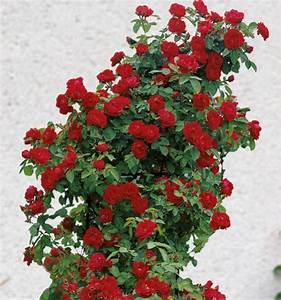 Rosier Grimpant Remontant : rosier grimpant ena harkness plante en ligne ~ Melissatoandfro.com Idées de Décoration