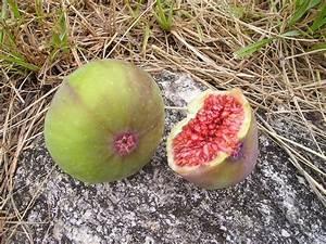 Feigenbaum Im Garten : feigenbaum feige im garten oder im k bel pflanzen 3 ~ Orissabook.com Haus und Dekorationen