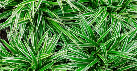 ribbon plant chlorophytum comosum aspca