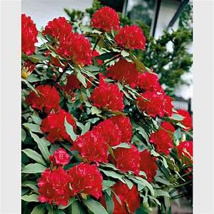 Ahrens Und Sieberz Versand : rhododendron kardinalrot online kaufen bei ahrens sieberz ~ Lizthompson.info Haus und Dekorationen