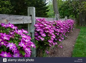 Colorful close up row of pink Clematis vines climing on a ...