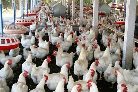 ayam boiler harga ayam broiler murah jual ayam broiler hidup harga