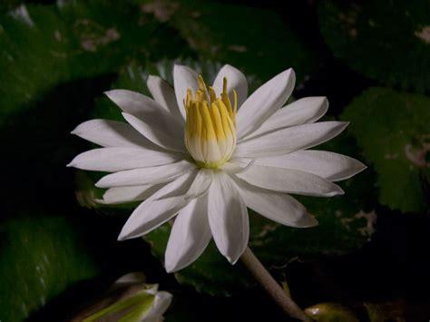 Nymphaea lotus | liliumaquae | en