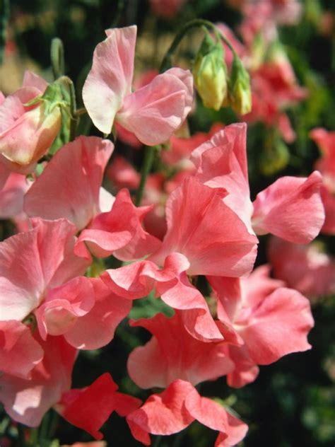 picture of sweet pea sweet peas how to plant grow and care for sweet pea flowers the old farmer s almanac