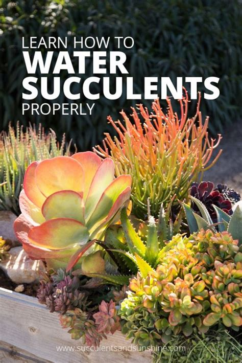 how often do you water succulents how to water succulent plants gardening