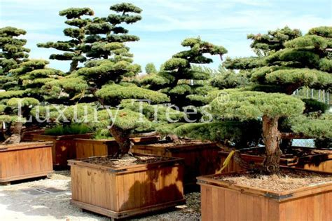 Garten Bonsai Winterfest Machen by Garten Bonsai Winterhart Zuhause Image Ideas