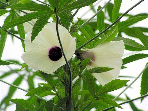 False Cannabis Marijuana Hemp ★ Hibiscus Cannabinus Giant