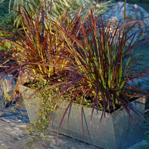 annual grasses for containers this fall container garden uses purple fountain grass rubrum quot pennisetum setaceum and