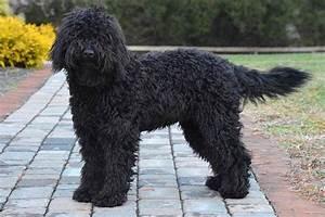 Barbet Dog Breed Information - American Kennel Club