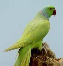Psittacula Krameri Ringneck Bird Birds Parrot