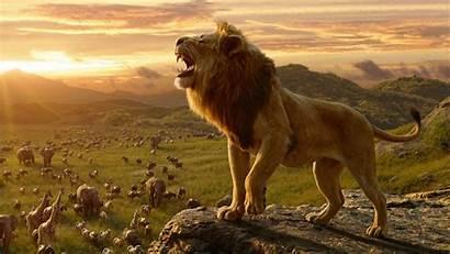 Lion 4k King Simba Wallpapers Ultra Resolutions