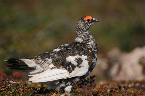 rock ptarmigan facts distribution adaptations pictures