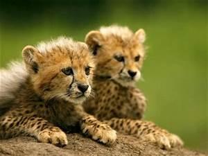 Vitesse Des Animaux : blog de guepard love panthere page 11 guepard panthere ~ Medecine-chirurgie-esthetiques.com Avis de Voitures