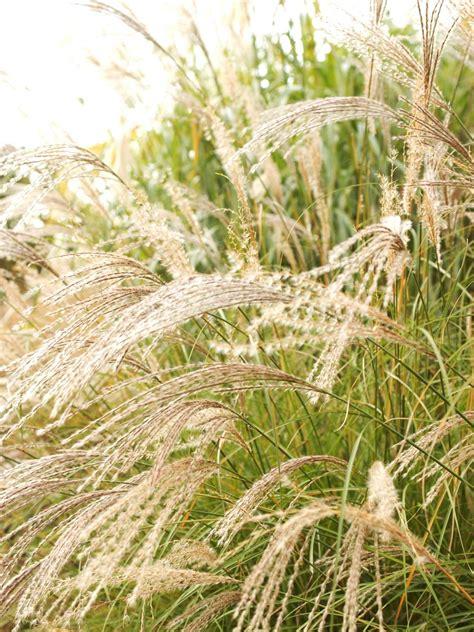 landscape grass types types of ornamental grasses hgtv