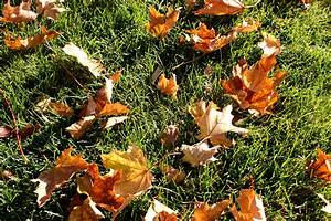Autumn, Maple, Leaves, On, The, Grass, Picture