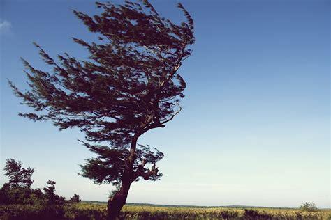 contoh gambar mewarnai gambar pohon tertiup angin