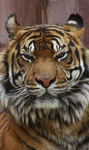 animalprint.quenalbertini: Beautiful Tiger - iPhone ...