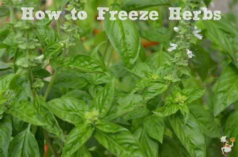 can you freeze basil how to freeze herbs pocket change gourmet