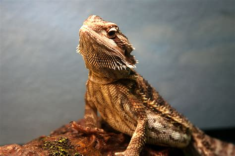 cool pictures  bearded dragons