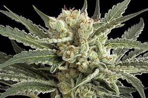 Lemon Skunk   Marijuana.TM - Cannabis News