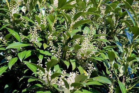 Kirschlorbeer Im Garten Pflanzen Oder Besser Nicht by Kirschlorbeer Pflanzen D 252 Ngen Und Schneiden