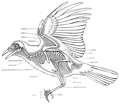 good drawings on wings and feathers animal anatomy