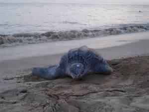 Largest Leatherback Sea Turtle